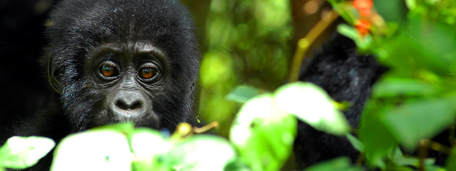 Gorilla Adventure Trips & Expeditions