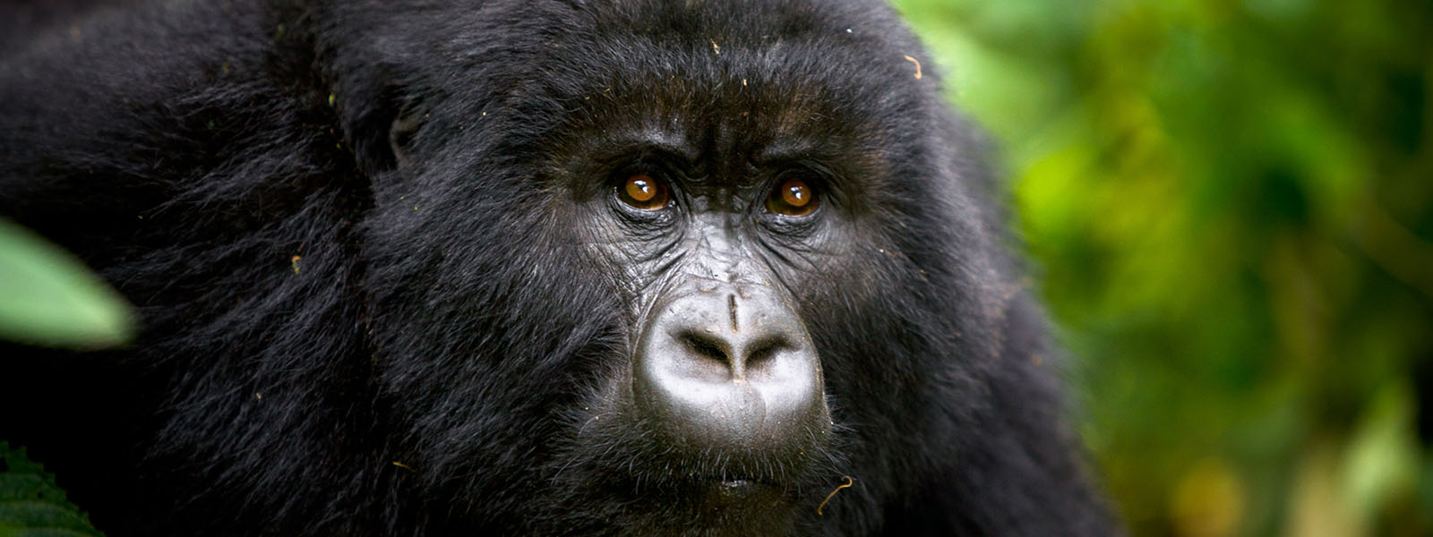 Gorilla Tracking For Charity