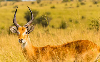 Antelope in Queen Elizabeth National Park