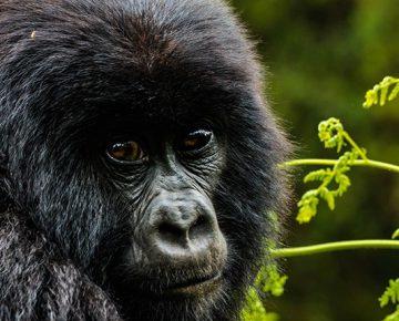 8 Days Lowland Gorillas & Mountain Gorillas