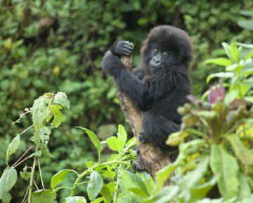4 Days Congo Gorilla Safari