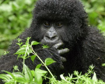 3 Days Congo Gorilla Tour