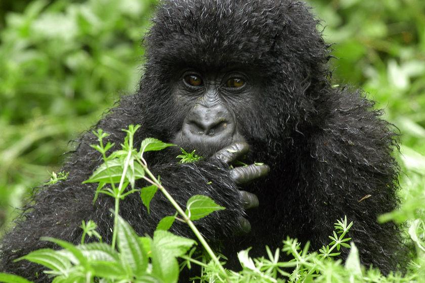 3 Days Congo Gorilla Tour