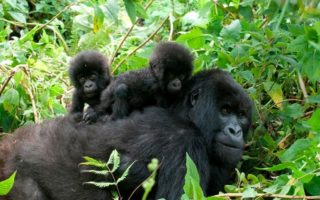 3 Days Gorilla Habituation Safari