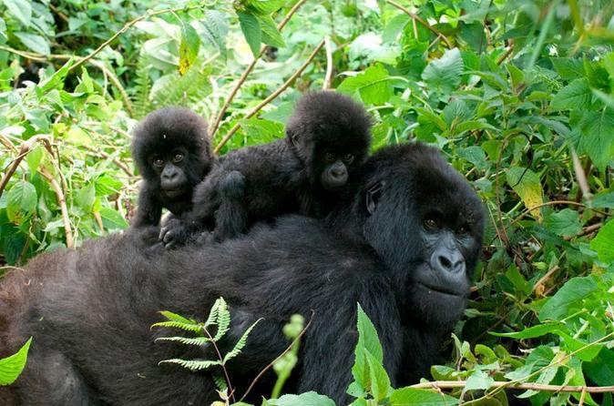 3 Days Gorilla Habituation Safari