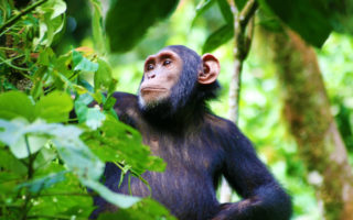 3 Days Kibale Chimpanzee Tracking