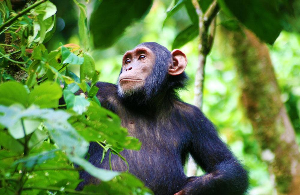 3 Days Kibale Chimpanzee Tracking